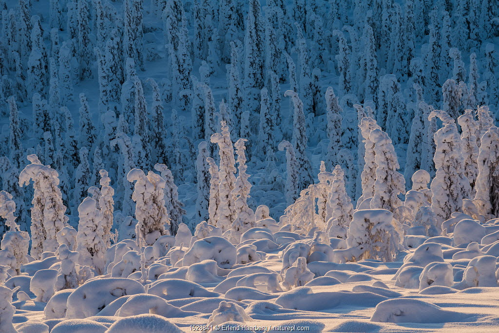 Norway spruce trees (Picea abies) covered in snow and frost, on the treeline, Sor-Stubba, Muddus National Park, Lapland, Sweden.