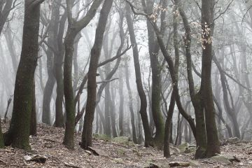 Holm oak tree (Quercus ilex) in fog. Alberes Mountains, Pyrenees, France.
