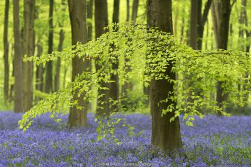 Bluebells and beech trees in West Woods, Wiltshire, England, UK.