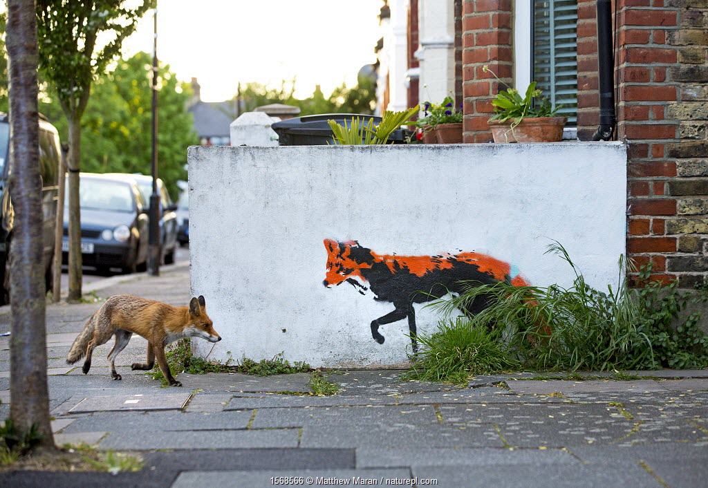 Urban red fox (Vulpes vulpes) walking past wall with red fox mural / graffiti . North London, England, UK, April.