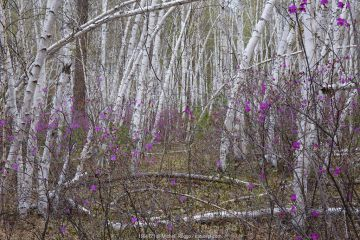 Forest on shore of Temnik river, in spring with Siberian Rhododendron (Rhododendron dauricum) and Birch (Betula sp.) Temnik River, Baikal Nature Reserve, Buryatia, Siberia, Russia.