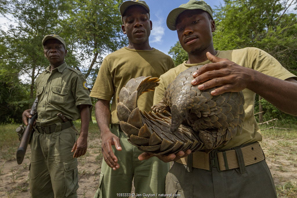 Park ranger holding a Cape pangolin / Temminck's ground pangolin (Smutsia temminckii), rescued from poachers. This picture was taken shortly before freeing the pangolin. Gorongosa National Park, Mozambique.