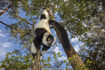 Black and white ruffed lemur (Varecia variegata variegata) hanging from branch, Vakona island, Andasibe area, Madagascar. Captive.