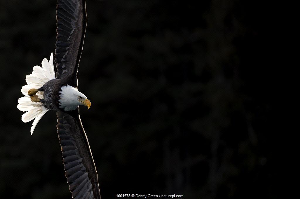 Bald eagle (Haliaeetus leucocephalus) in flight, Alaska, USA, February.