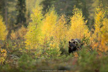 Brown bear (Ursus arctos) in autumnal forest, Finland, September.