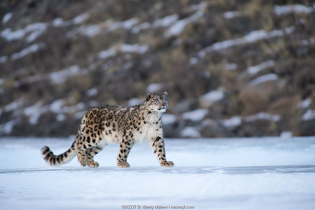 Snow leopard (Uncia uncia) Altai Mountains, Mongolia. March.