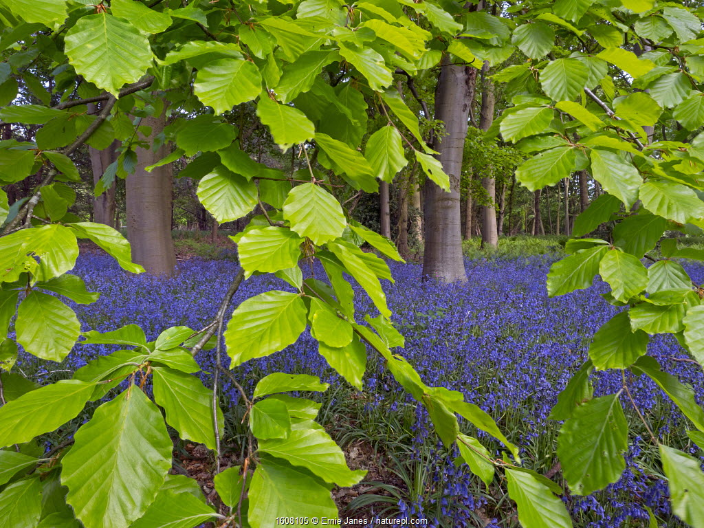 Bluebells (Hyacinthoides non-scripta) and Beech (Fagus sylvatica) leaves, England, UK, May.