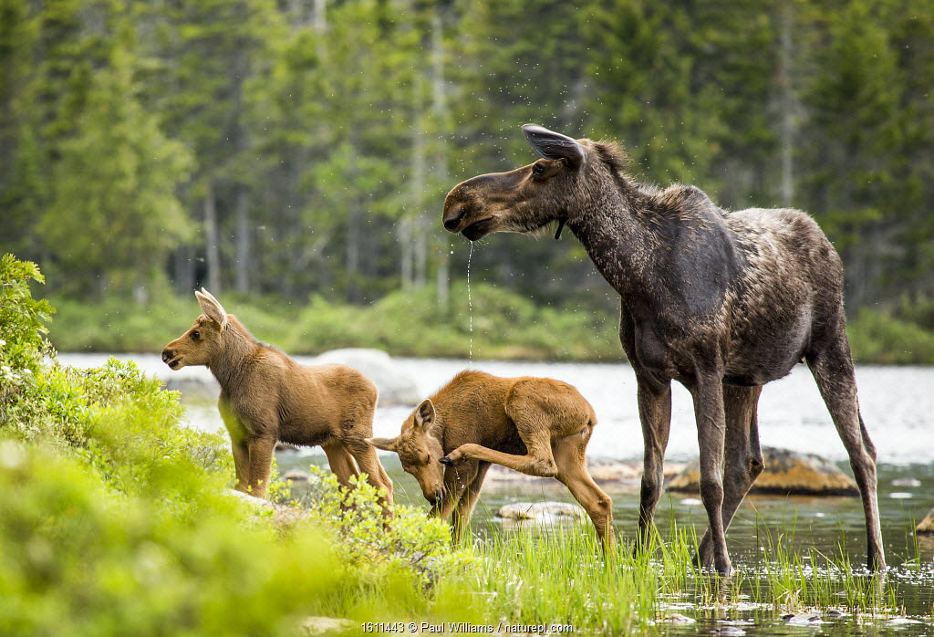 Moose (Alces alces) female with twin calves, Baxter State Park, Maine, USA, June.