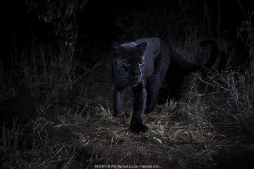 Young male melanistic leopard (Panthera pardus), Laikipia Wilderness Camp, Kenya. Photographed with a camera trap.