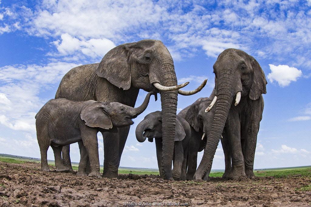 African elephants (Loxodonta africana) at a waterhole - remote camera. Masai Mara National Reserve, Kenya.