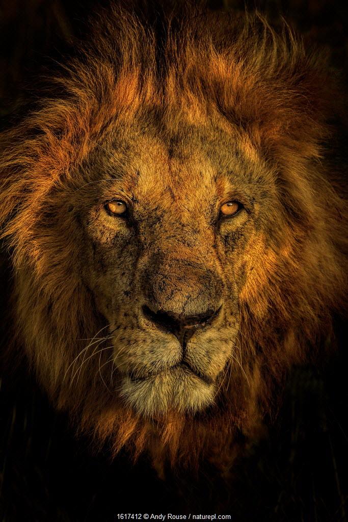 African Lion (Panthera leo) male at sunrise, Masai Mara, Kenya.