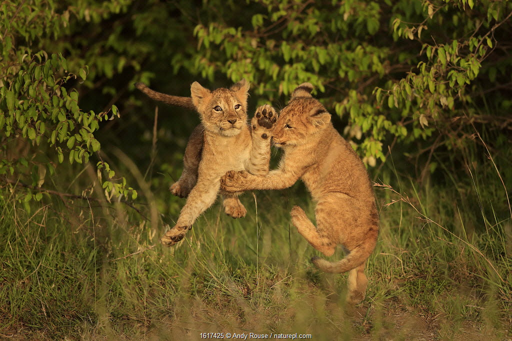 African Lion (Panthera leo) cubs age two months playing, Masai Mara, Kenya.