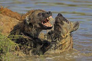 Spotted Hyena (Crocuta crocuta) fighting over hippo carcass in water, Masai Mara, Kenya.