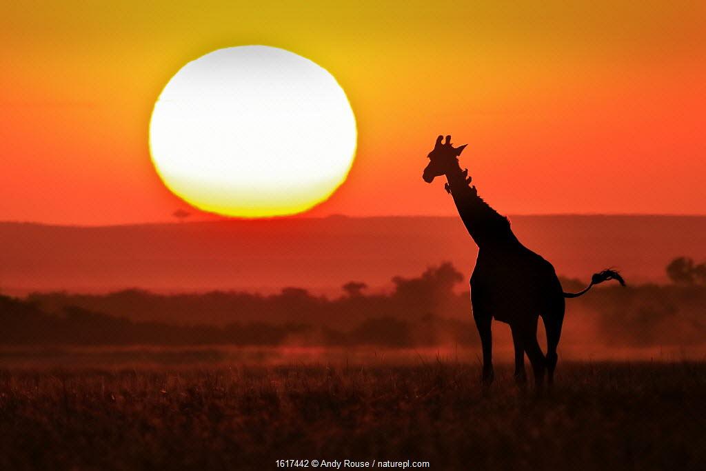 Masai Giraffe (Giraffa camelopardalis) silhouetted at sunset, Masai Mara, Kenya.