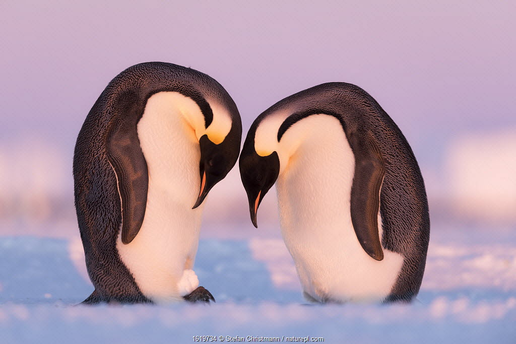 Emperor penguin (Aptenodytes forsteri) pair practising incubating with a snowball. Atka Bay, Antarctica. May.