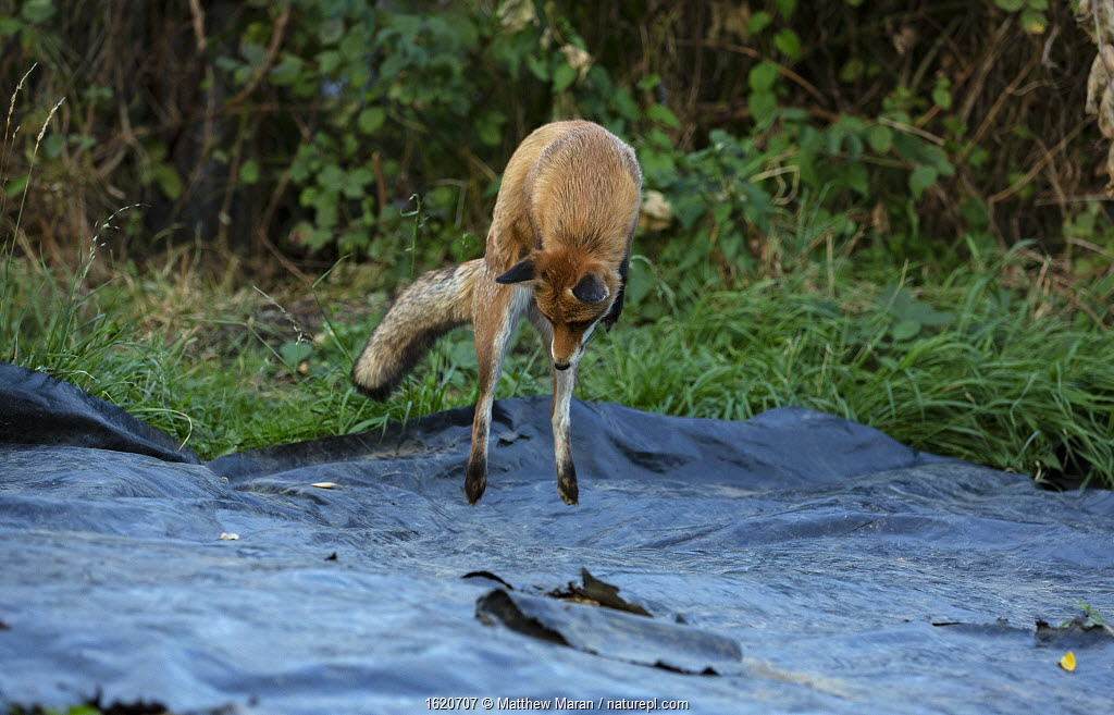 Red fox (Vulpes Vulpes) pouncing / hunting for mice on allotment, North London, England, UK, September.