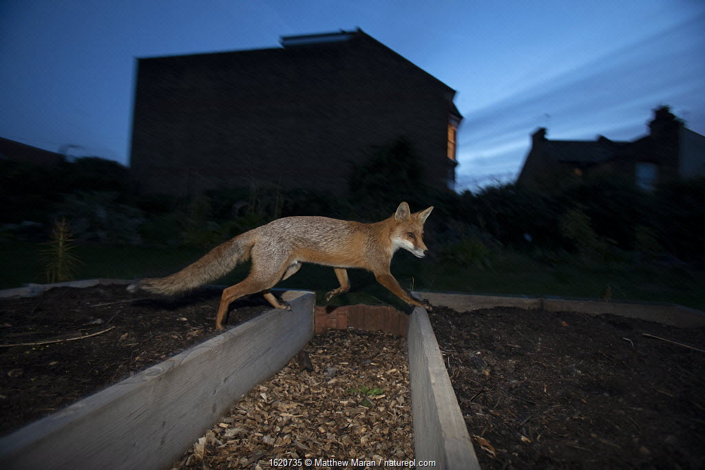 Red fox (Vulpes Vulpes) walking over raised beds, North London, England UK