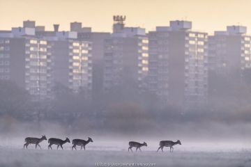 Fallow deer (Dama dama) walking across frost-covered playing fields at dawn, with tower blocks of London in the background. Richmond Park, London, UK. December.