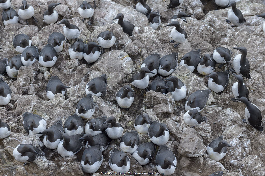 Common murre / guillemots (Uria aalge) in nest colony on Langanes peninsula, northeast Iceland. May.