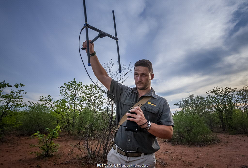 Researcher Francois Meyer uses radio telemetry to search for an adult Temminck's ground pangolin (Smutsia temminckii) that had been released back into the wild following its rehabilitation and rescue from poachers in Limpopo Province, South Africa.
