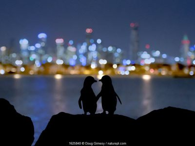 Little blue penguin (Eudyptula minor), two standing on rocks at night, silhouetted against Melbourne city lights. St Kilda breakwater, Victoria, Australia. December 2016.