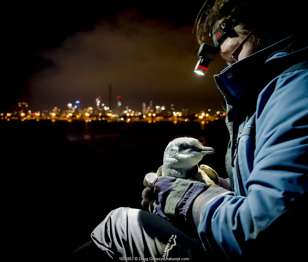 Earthcare St Kilda penguin research volunteer holding Little penguin (Eudyptula minor) after retrieving it from burrow to check for microchip and determine sex and weight. St Kilda breakwater, Melbourne, Victoria, Australia.