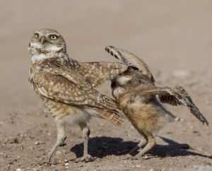 Burrowing owl (Athene cunicularia) male covering fledgling with wings to protect from danger. Fledgling flapping wings in protest. Marana, Arizona, USA. May.