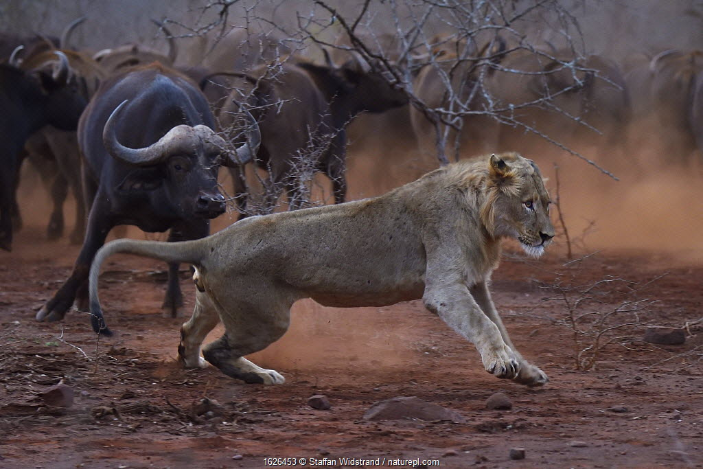 African lion, (Panthera leo) confronted by a herd of African buffalo / Cape buffalo (Syncerus caffer), Zimanga Private Nature Reserve, KwaZulu Natal, South Africa.