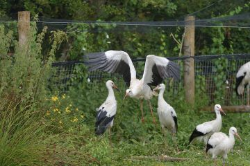 Captive reared juvenile White stork (Ciconia ciconia) flying from an opening in a temporary holding pen on release day on the Knepp estate as others look on, Sussex, UK, August 2019.