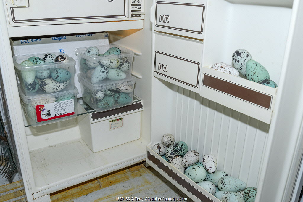 Seabird eggs including those of Common murre/ guillemot (Uria aalge) in fridge. Collected from Skoruvikurbjarg cliffs, Langanes Peninsula, Iceland. May.