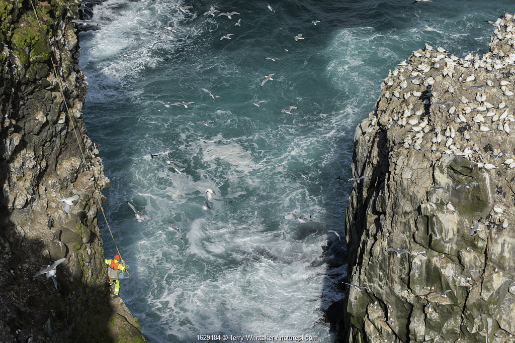 Man being lowered down cliff to collect seabird eggs including those of Common murre/ guillemot (Uria aalge) and Black-legged kittiwake (Rissa tridactyla). Gannet (Morus bassanus) colony on opposite cliff. Skoruvikurbjarg cliffs, Langanes Peninsula, Iceland.