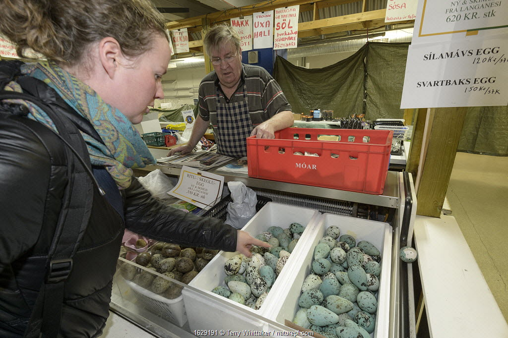 Common murre / guillemot (Uria aalge), Black-legged kittiwake (Rissa tridactyla) and Gull (Larus sp) eggs for sale at Reykjavik Weekend Market, Iceland.