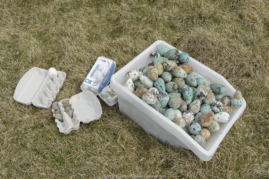 Common murre / guillemot (Uria aalge) and Black-legged kittiwake (Rissa tridactyla) eggs in box and egg boxes. Collected from Skoruvikurbjarg cliffs, Langanes Peninsula, Iceland. May.
