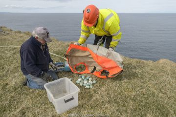 Two men on cliff top with Common guillemot / murre (Uria aalge) eggs collected from cliff face. Skoruvikurbjarg cliffs, Langanes Peninsula, Iceland. May.