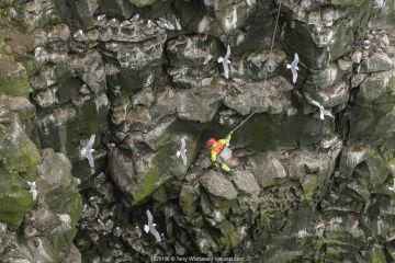 Man harvesting eggs in Black-legged kittiwake (Rissa tridactyla) colony, on steep cliff face. Skoruvikurbjarg cliffs, Langanes Peninsula, Iceland.