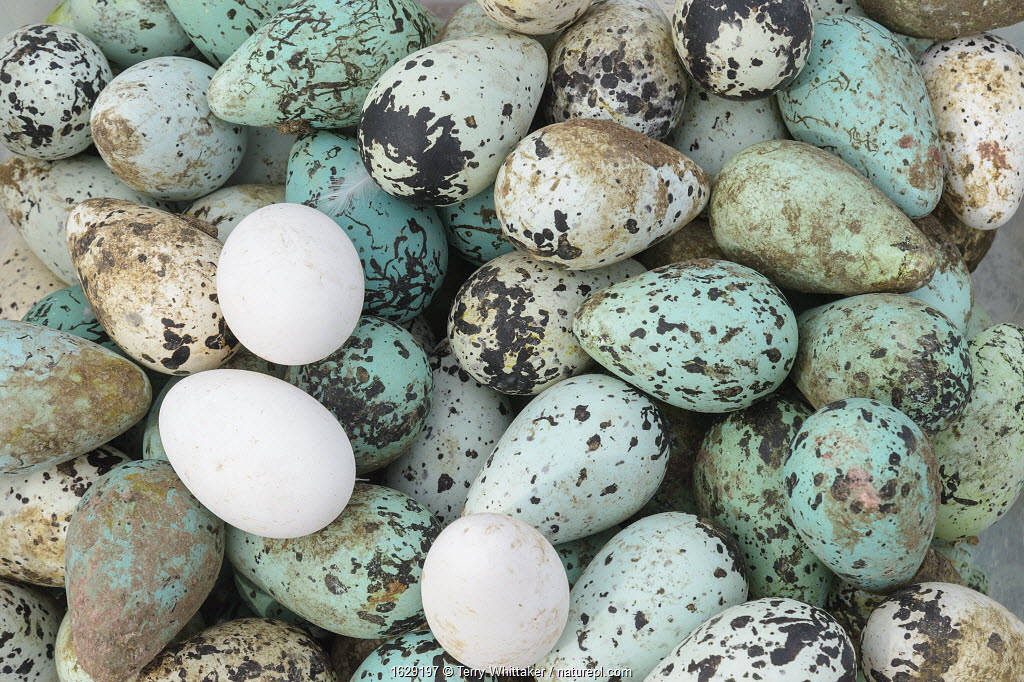 Common murre / guillemot (Uria aalge) and Fulmar (Fulmarus glacialis) eggs foraged from Skoruvikurbjarg cliffs, Langanes Peninsula, Iceland. May.