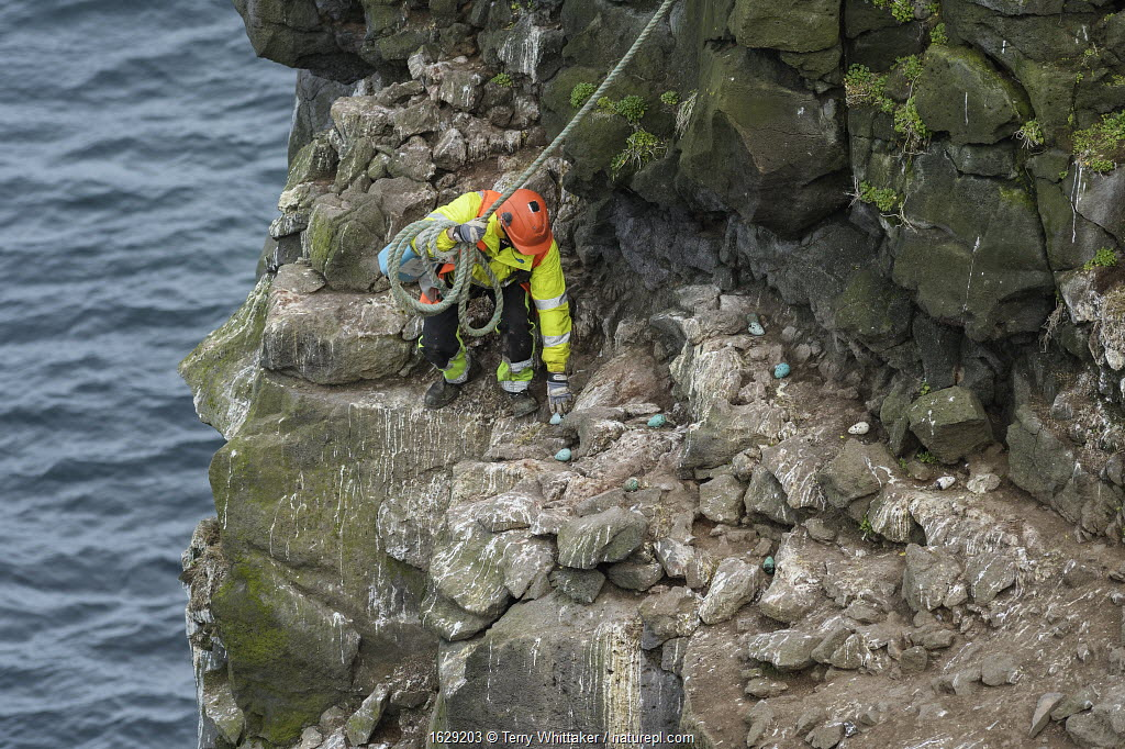 Man collecting seabird eggs including those of Common murre / guillemot (Uria aalge). Skoruvikurbjarg cliffs, Langanes Peninsula, Iceland. May.