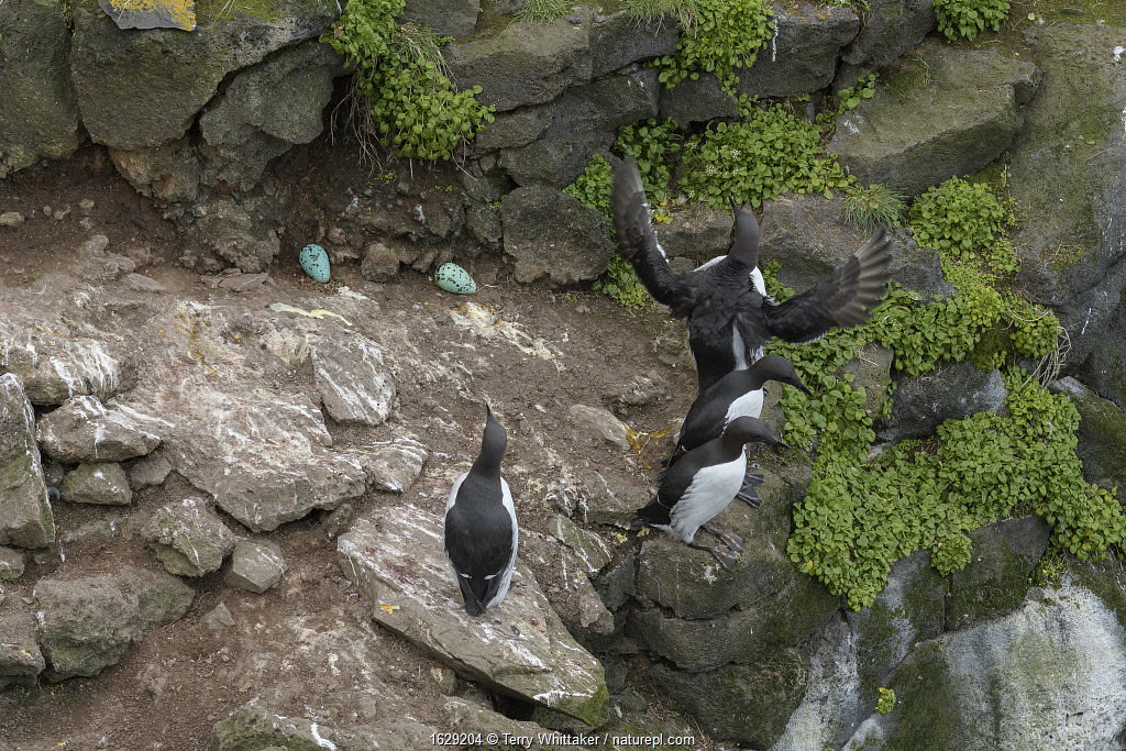 Common murre / guillemot (Uria aalge) four in breeding colony, eggs exposed on rock surface. Langanes Peninsula, northeast Iceland. May.