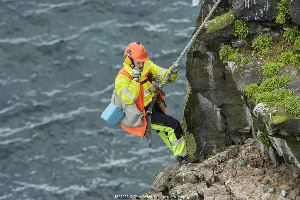 Man being lowered down cliff to collect seabird eggs including those of Common murre / guillemot (Uria aalge). Skoruvikurbjarg cliffs, Langanes Peninsula, Iceland.
