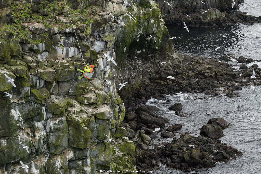 Man being lowered down cliff to collect seabird eggs including those of Black-legged kittiwake (Rissa tridactyla). Skoruvikurbjarg cliffs, Langanes Peninsula, Iceland.
