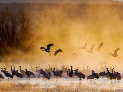 Sandhill cranes (Antigone canadensis) and Snow geese (Chen caerulescens) at sunrise, Bosque del Apache National Wildlife Refuge, New Mexico, USA, November.