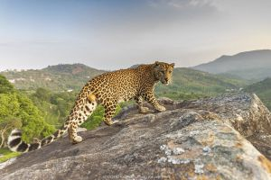 Indian leopard (Panthera pardus fusca) on rock with forested hills beyond. Nilgiri Biosphere Reserve, India. Camera trap image. 2019.