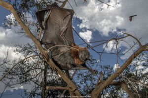 Grey-headed Flying-fox (Pteropus poliocephalus) hanging dead in tree having succumbed to heat stress (like hundreds of others) on a very hot summer Melbourne day. Yarra Bend Park, Kew, Victoria, Australia. January.