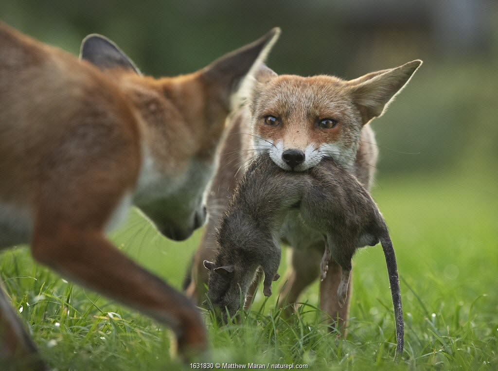 Red fox (Vulpes vulpes) cub defending its kill (a large dead brown rat (Rattus norvegicus)) from another cub, North London, UK. August.