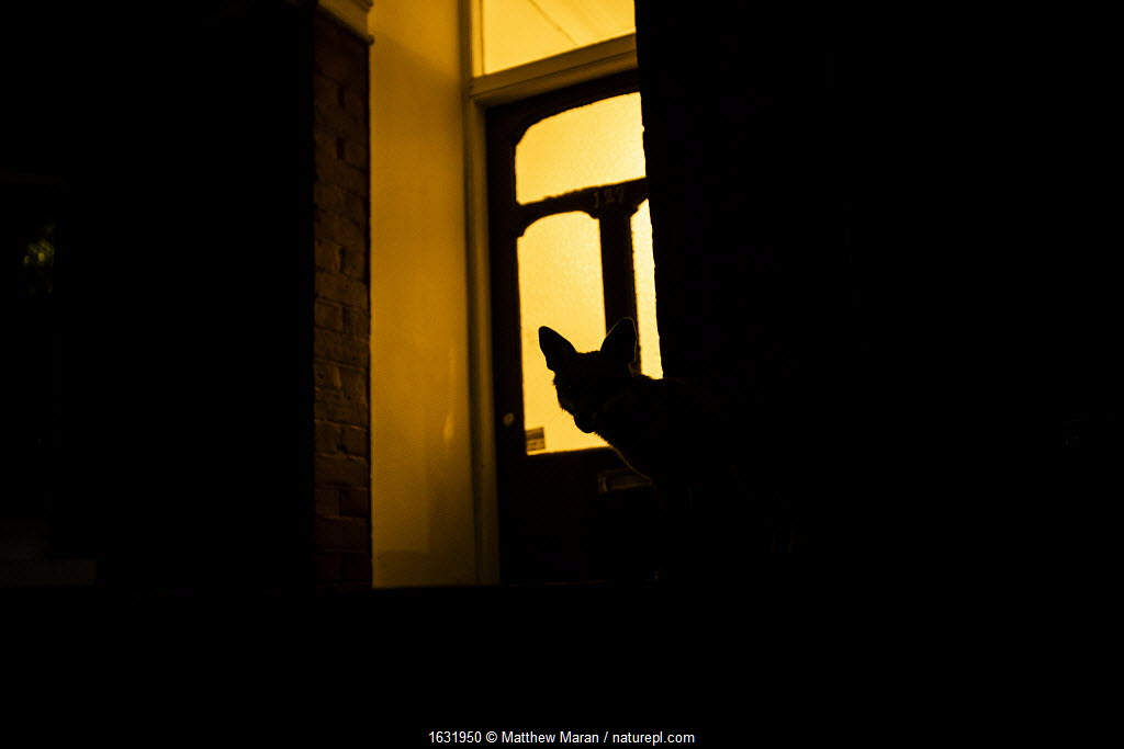 Red fox (Vulpes Vulpes) silhouetted in door to a house, North London, England, UK. June.