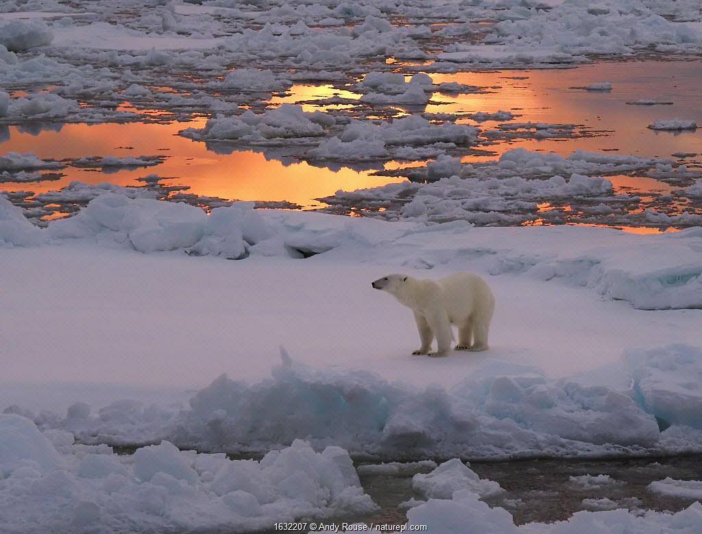 Polar bear (Ursus maritimus) standing on pack ice at sunset. Svalbard, Norway.