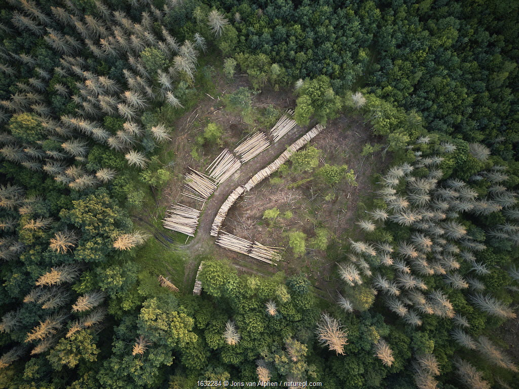 Aerial view of clearing with felled logs in Bialowieza Forest UNESCO World Heritage Site, Poland.