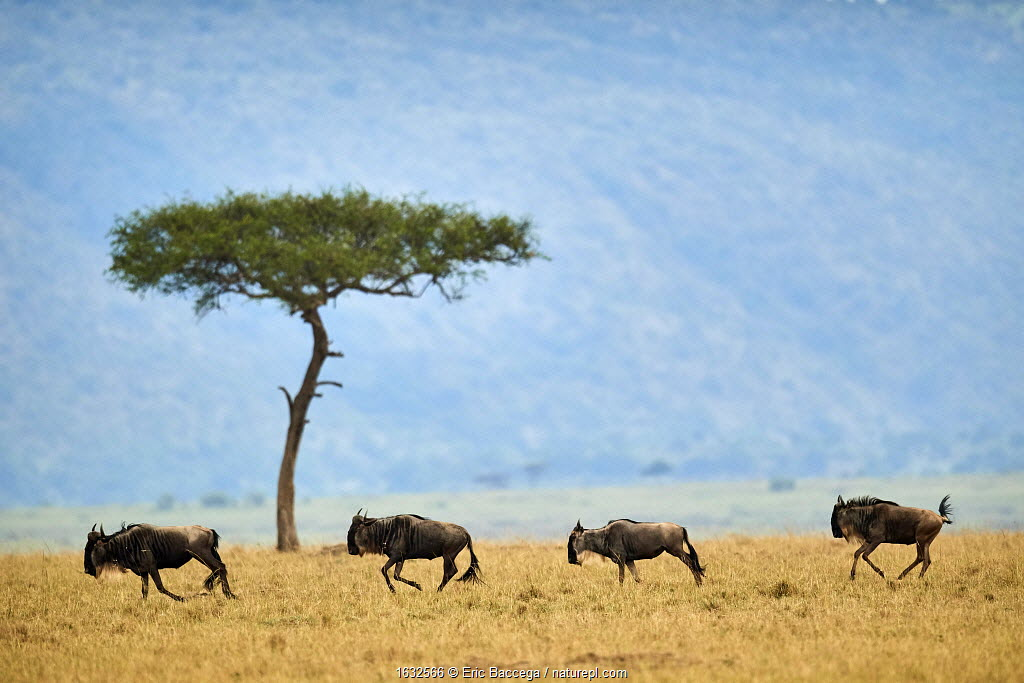 Eastern white-bearded wildebeest (Connochaetes taurinus), four running in line, on migration, Masai Mara National Reserve, Kenya.