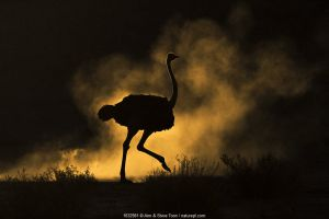 Ostrich (Struthio camelus) silhouetted in dust storm. Kalahari Gemsbok National Park, Kgalagadi Transfrontier National Park, Northern Cape, South Africa.