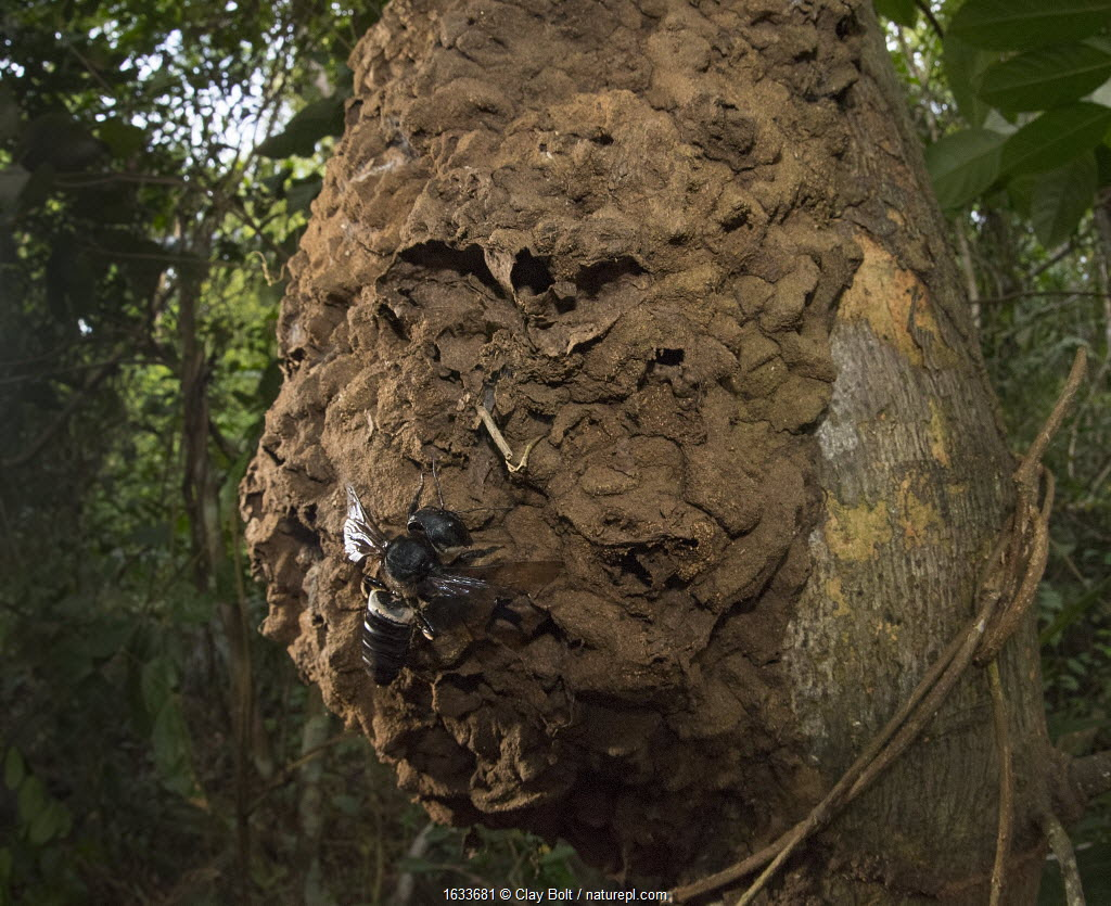 Wallace's giant bee (Megachile pluto) and nest on tree trunk. North Moluccas, Indonesia.T his is the only photo that is known to exist of this species (the world's largest bee) in the wild, in situ, and with nest.